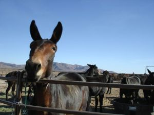 Mules in Corral