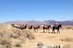 Mules walking second day
